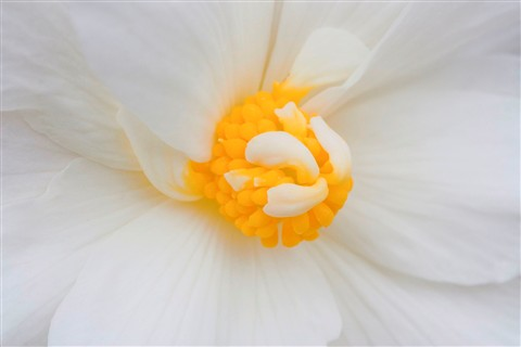 pure white begonia
