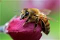 HoneyBee-1600px