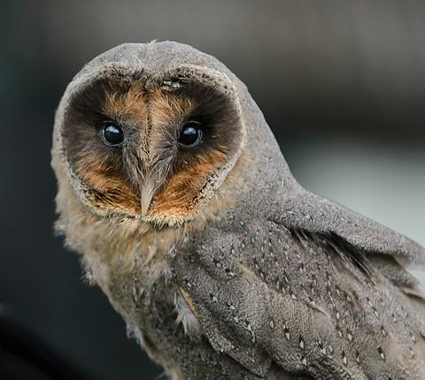 Black Barn Owl : Digital Photography Review