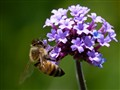 Bee and Verbena
