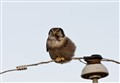 Nothern Hawk Owl on a Wire