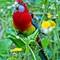 Eastern Rosella: Former Aussie cage birds now gone bush in New Zealand.