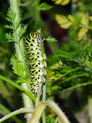 Gąsienica Paź królowej (Papilio machaon)