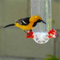 California Oriole