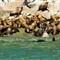 Stellar Sea Lions -Alaska