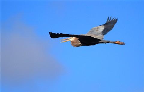 Great Blue Heron3