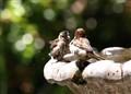 Sparrows Taking Bath