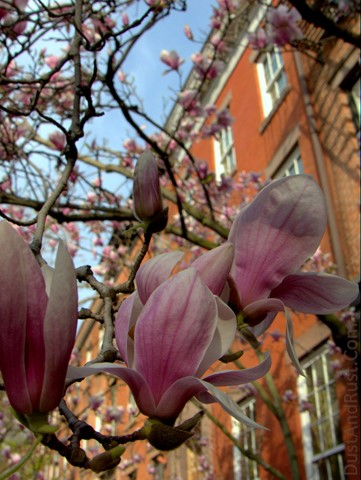 nyc_blossom_large