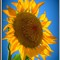 sunflower in my back yard dallas enh