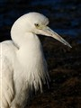 Immature Little Blue Heron_9390
