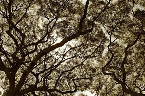 Sepia Waimea Trees (1)