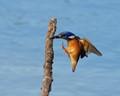 Azure Kingfisher landing