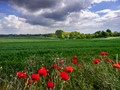 lombeek view & poppies