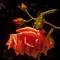roses la nuit