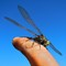 Graffander Dragon Fly