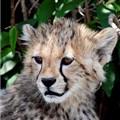 Young cheetah
