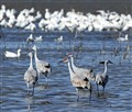 Sandhill Cranes and Snow Geese - Merced NWR