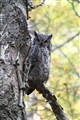 hidden owl
