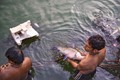 Fish-Fishermen catching fish in a tank-