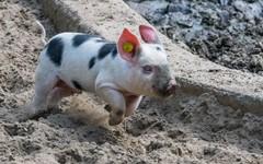 仔猪在行动中