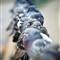 dp_citybirds