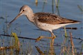 Tringa Nebularia (Common Greenshank/Chevalier Aboyeur)