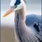 Great Blue Heron-523-Edit