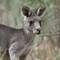 kangaroo11042018_148v2a: OLYMPUS DIGITAL CAMERA
