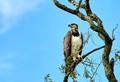 Martial Eagle at Zikomo, South Luangwa, Zambia