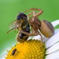 Spyder & Bee