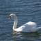 Swan 1 Nov 3 2014 (1 of 1)