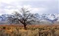 alvord tree