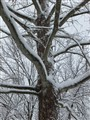 Snow on the sycamore