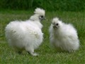 Sandra & Sue the Silkie hens.