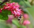 Oramental Raspberry Flower in April
