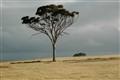 Eucalypt in grass field