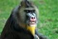 Mandrill Cordoba Zoo Spain