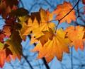 Orange Backlit Autumn Maple
