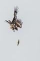 Black Kite.