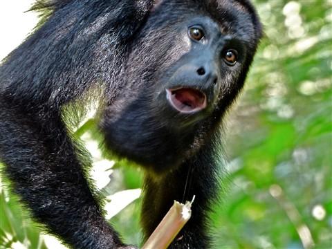 Howler Monkey 382