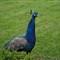Čudna plava kokoš