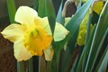 Luminescent Dafodil