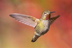 Anna's Hummingbird in flight