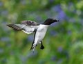 Razorbill lands in front of bluebells