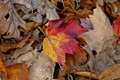 Fallen Leaves of Color