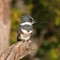 Belted Kingfisher    09 28 2015   007