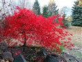 Last Day for Japanese Maple