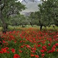 Poppies filed between olives trees