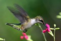 Ruby-throated Hummingbird sipping Salvia flowers