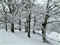 oaks after snow